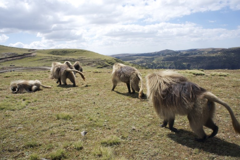 Gelada baboons walk along the escarpment in Simien Mountains National Park (Source - Calum)